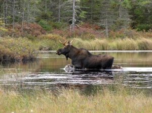 A moose in northern Vermont (U.S. Fish and Wildlife Service)