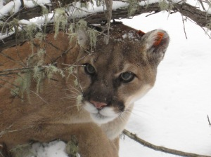 A Montana mountain lion in winter. (USFWS)
