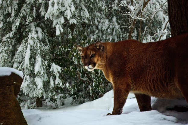 A mountain lion in winter, but not in the Adirondacks.